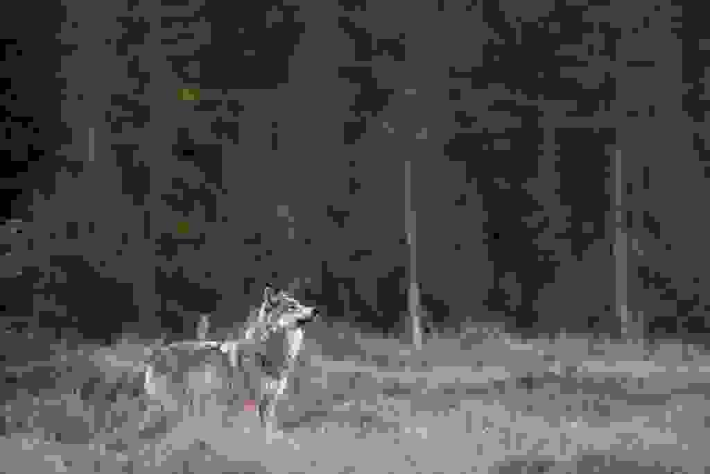 περιβάλλον λύκος λύκοι κατοικίδια ζώα