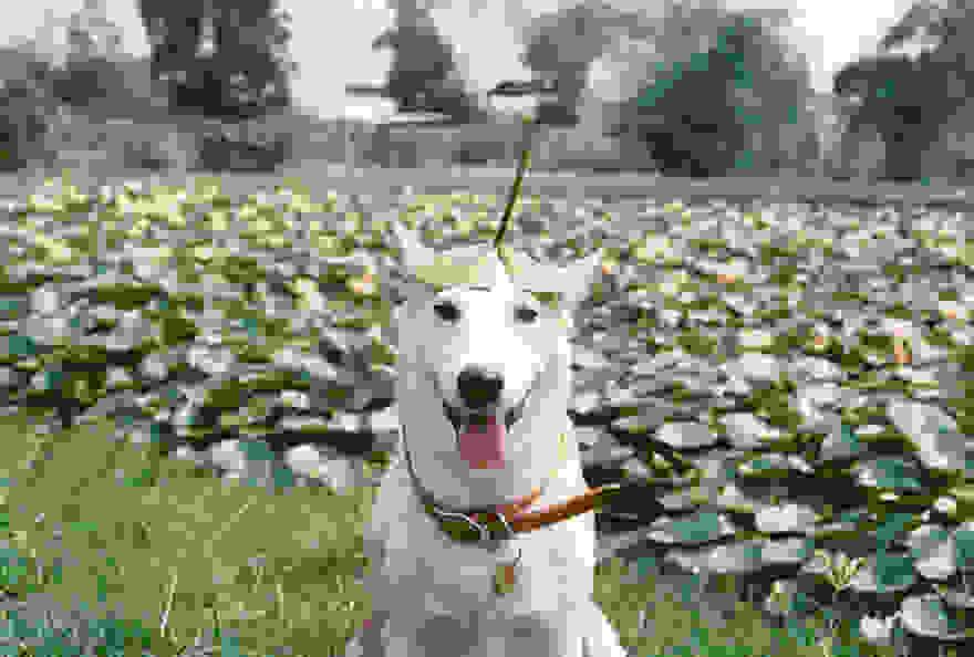 Ταϊλάνδη Σκύλος